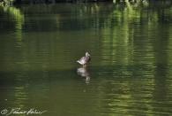 """Kurzer Schwenk zur """"Jesus-Ente"""" im botanischen Garten. Sie kann übers Wasser laufen :)"""