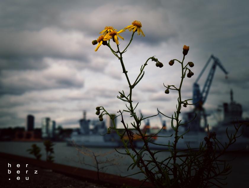 40/2020 – Hafenblume